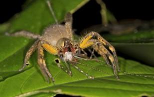 Яд паука поможет разработать новый препарат