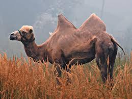 Антитела верблюдов и ламы помогли создать лекарство от артрита