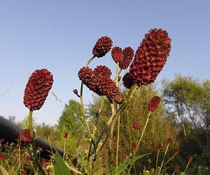 Семена льна, кукурузные рыльца и кровохлебка при меноррагии