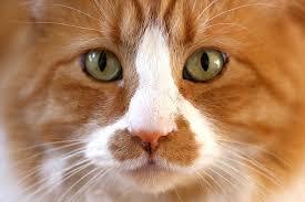 Глазные заболевания кошек