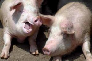 Проблему дефицита человеческих органов могут решить свиньи