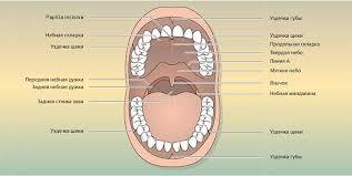 Статья на тему: Полость рта