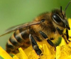 Пчелиный яд поможет в лечении остеоартрита
