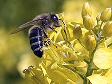 Инъекции на базе пчелиного яда могут помочь миллионам пациентов с остеоартритом