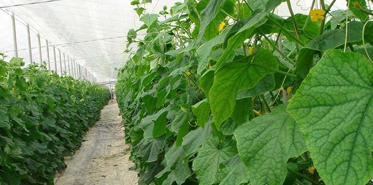 Зеленое здоровье из теплицы