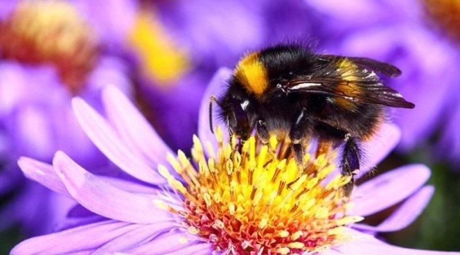 Пчелиный яд поможет вылечить остеоартрит