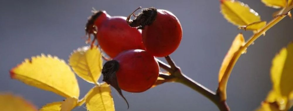 Простое растительное средство от боли при артрите и для укрепления сердца